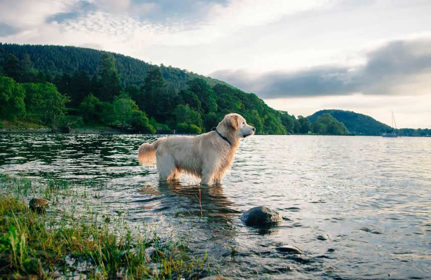 Golden retriever playing in Ullswater during its stay at the dog-friendly hotel, Another Place, The Lake