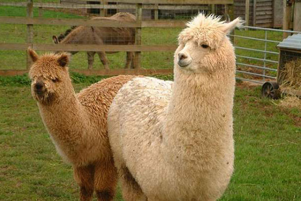 Two alpacas at the Alpaca Centre in the Lake District