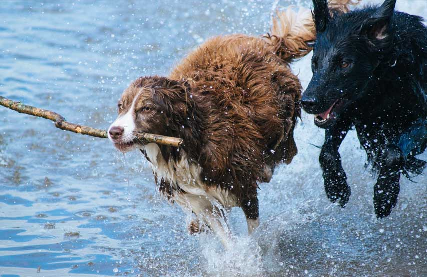 Dogs running through the water in the Lake District