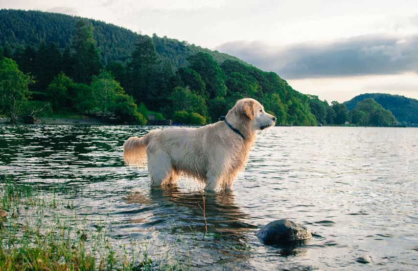 Golden retriever playing in Ullswater, home to Another Place - a new relaxed, dog friendly hotel