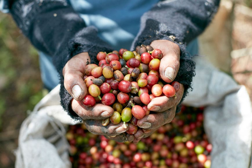 Origin picked coffee cherrries in Colombia