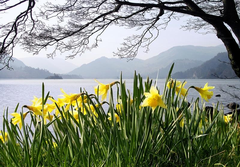 Daffodils - credit Janet Wedgwood