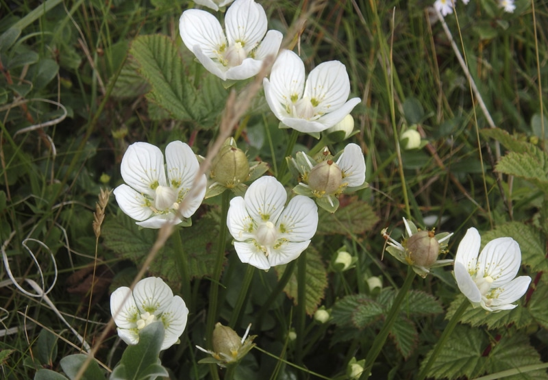 Grass of Parnassus RSPB Images