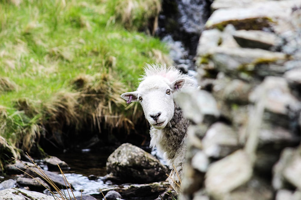 A sheep in the Lake District