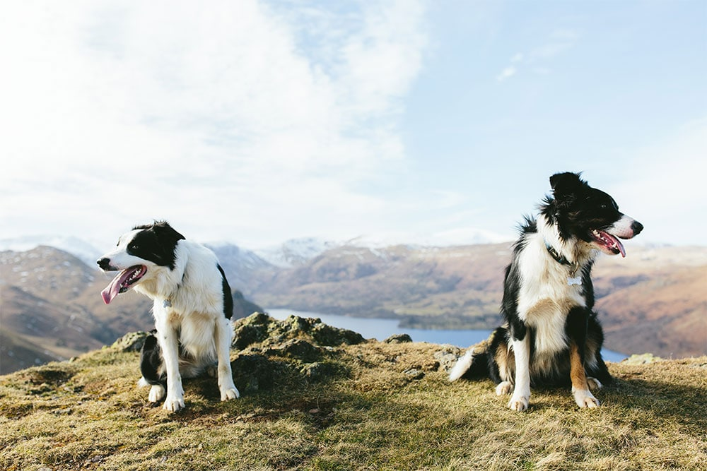 2 dogs on top of a fell overlooking a lake