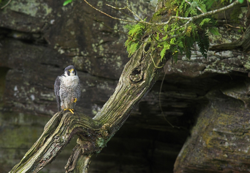 Peregrine Falcon RSPB Images