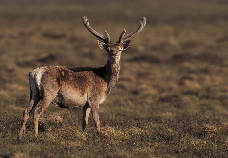 Red deer, side view on short grass and heather.
