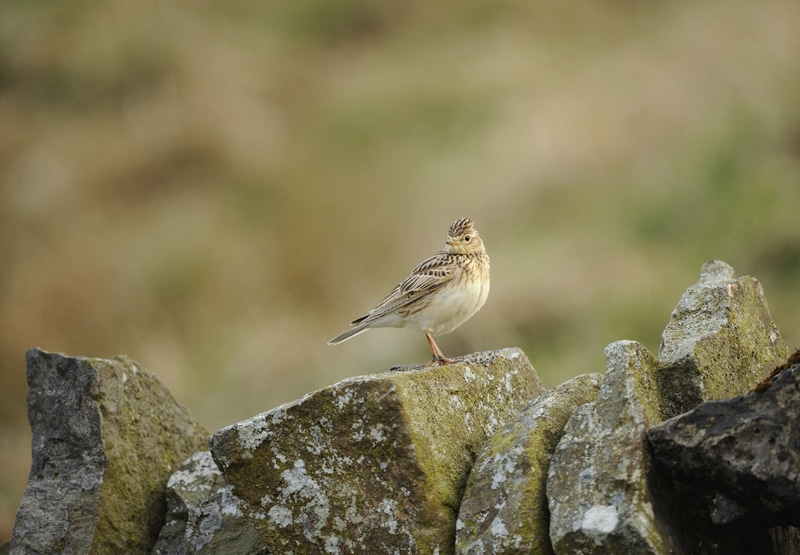 kylark Alauda arvensis, adult perched on dry stone wall, County Durham, April