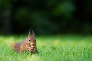 Red squirrel awareness week