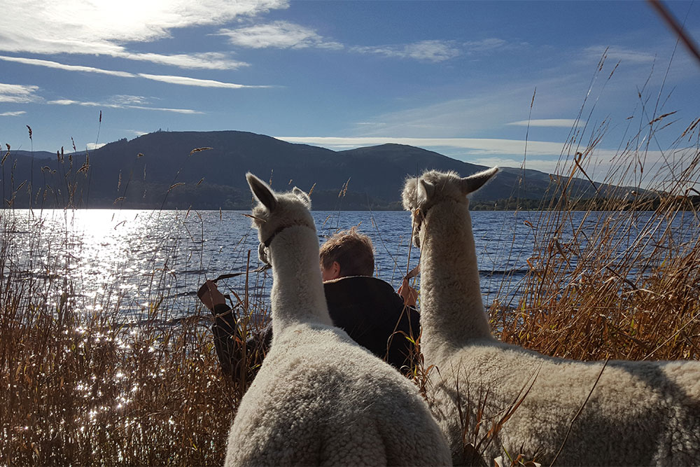 Alpaca's in the Lake District