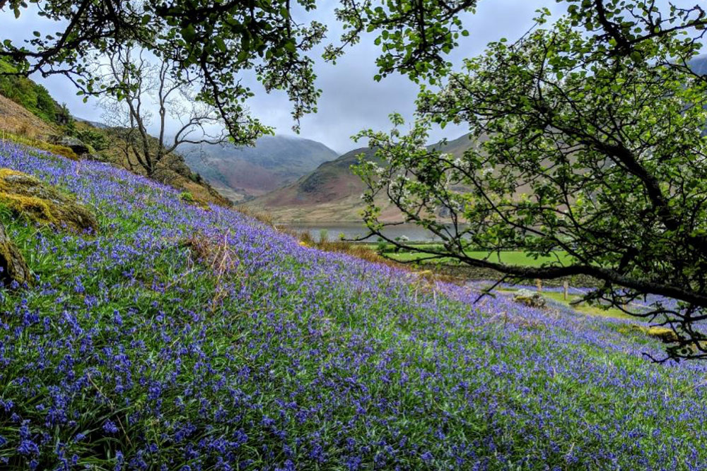 Crummock Water and High Ling Crag make for a beautiful backdrop to the bluebells.
