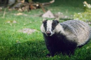 Nights with badgers – by the RSPB