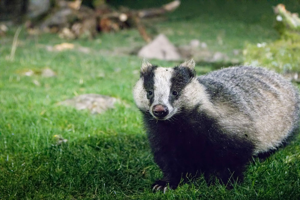 A badger at RSP Haweswater