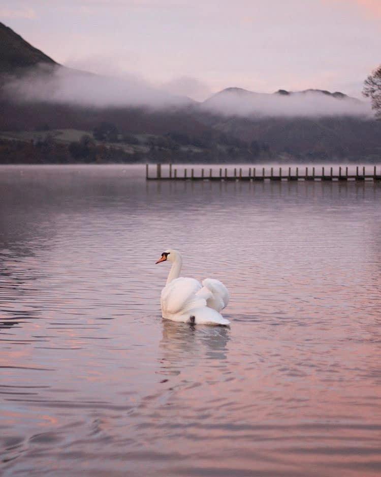 White swan on Ullswater