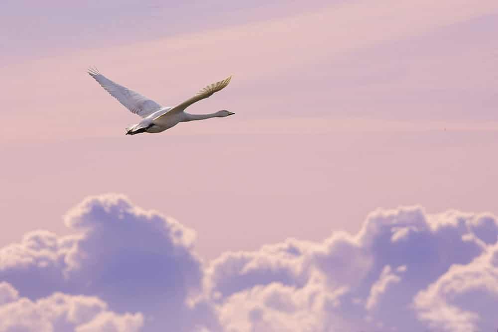 A swan in flight
