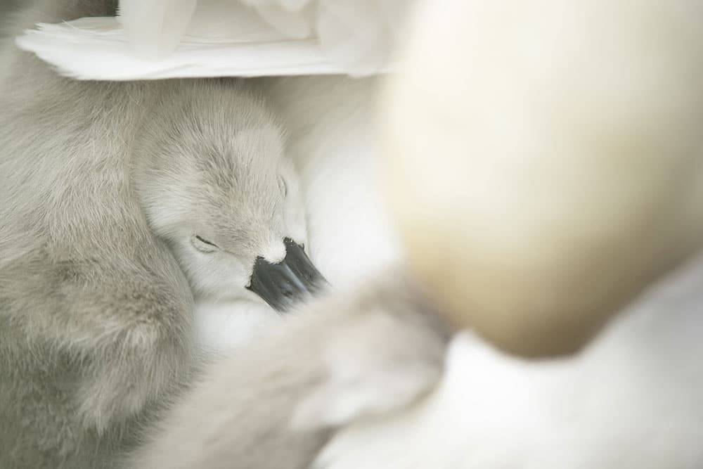 A cygnet sleeps on its mother swan