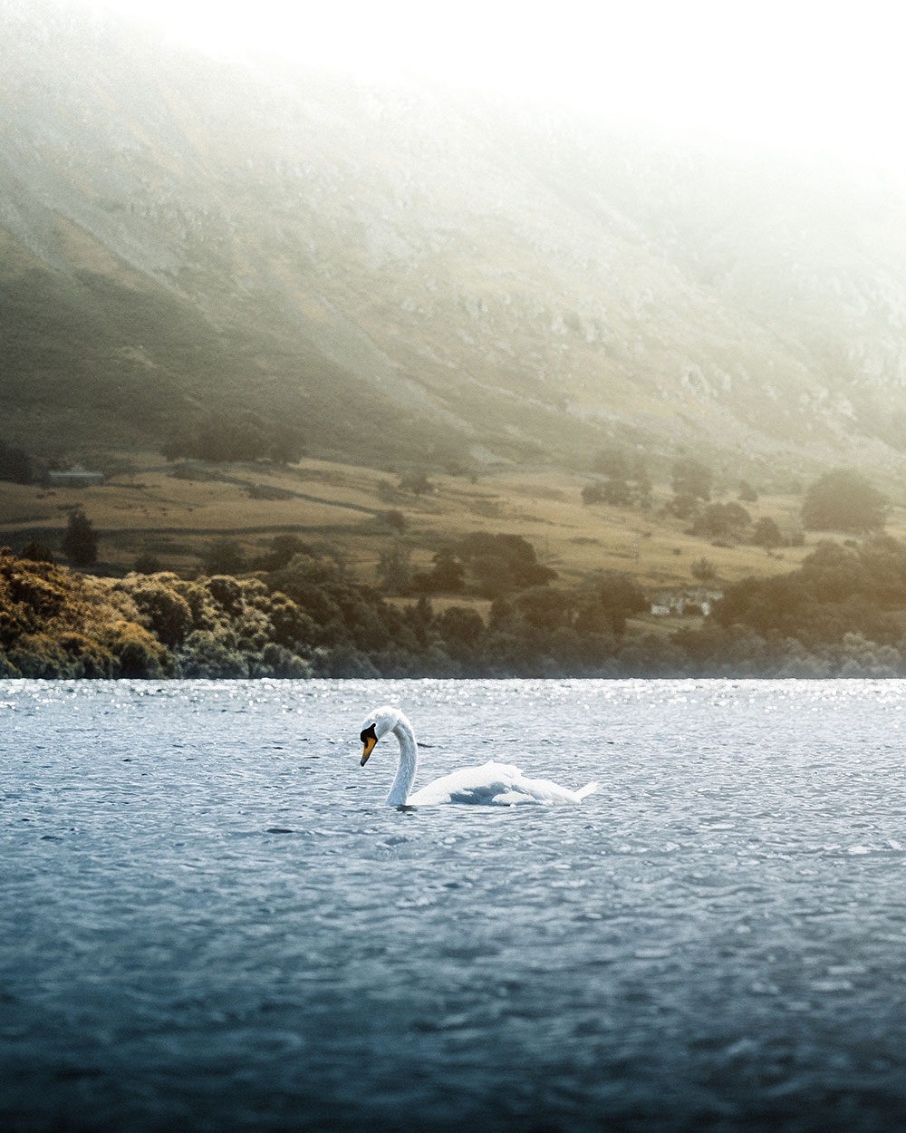 A swan glides on the waters of Ullswater