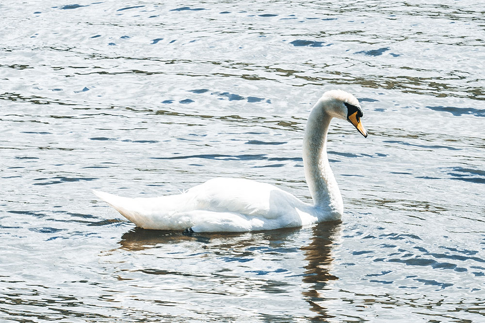 Closeup of an adult swan on Ullswater