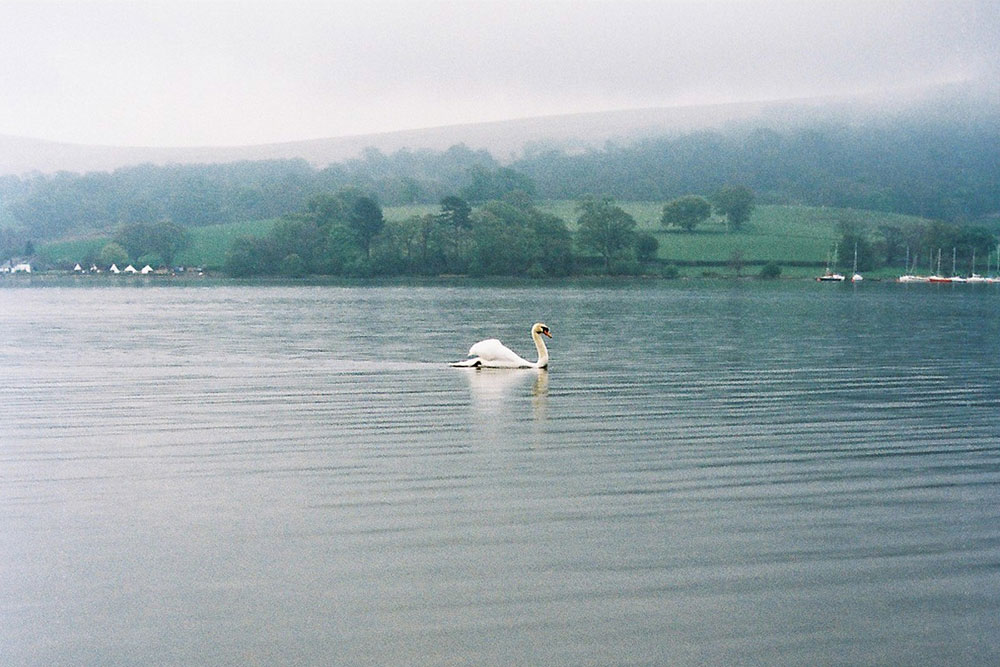 A swan swims in the morning mist