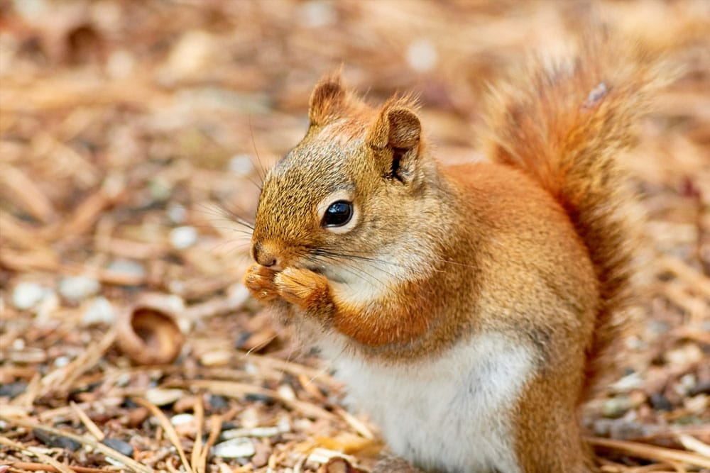 Red Squirrel conservation work on site