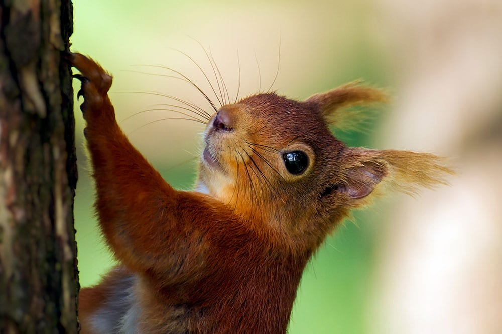 Haweswater Red Squirrel climbing