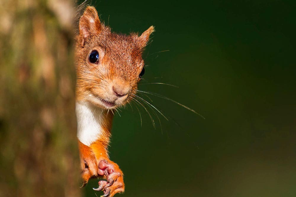 A Haweswater Red Squirrel
