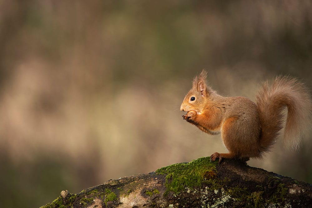 Red Squirrel eating on a tree branch