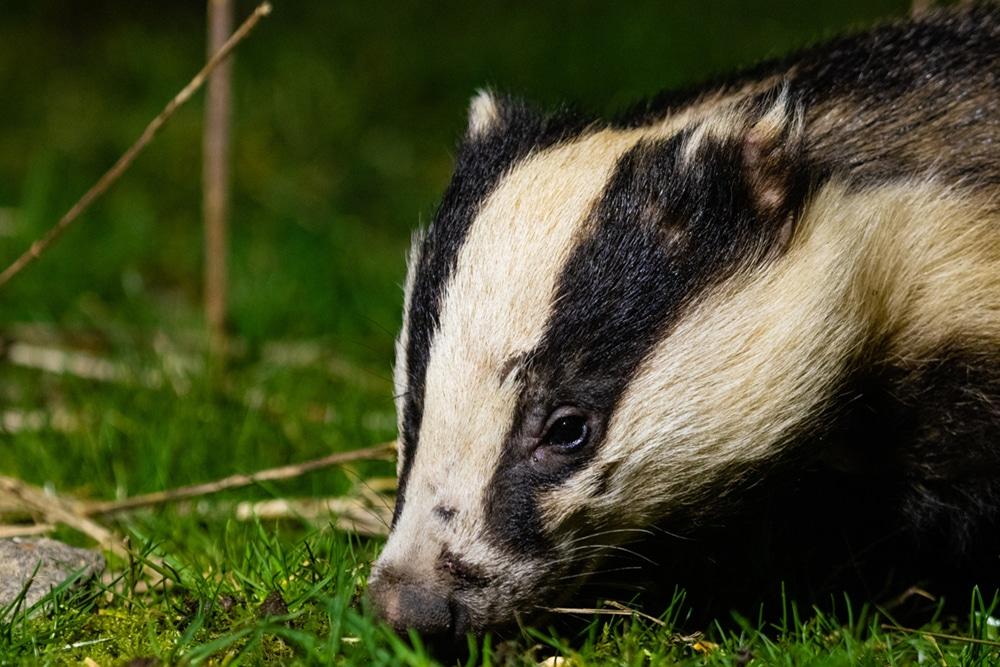 Badger - photo credit Cain Scrimgeour