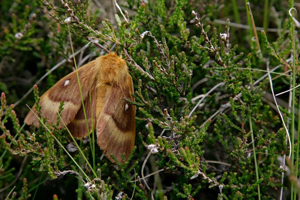 Oak Egger Moth at Haweswater - photo credit RSPB