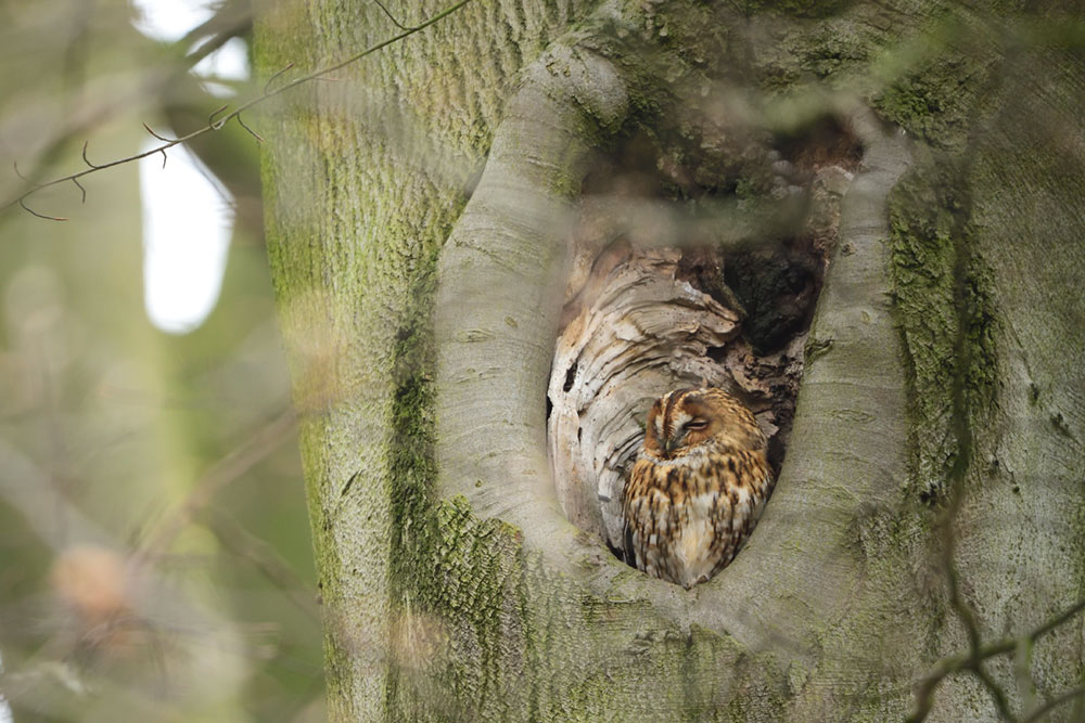 Tawny owl in natural nest hole - photo credit RSPB